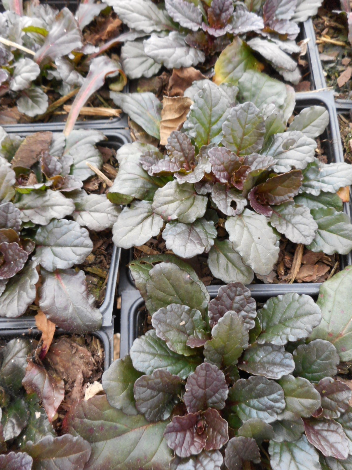 Ajuga Reptans Bronze Beauty