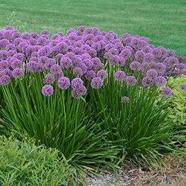 /Images/johnsonnursery/product-images/Allium Millenium3_web_84hxlgzqz.jpg