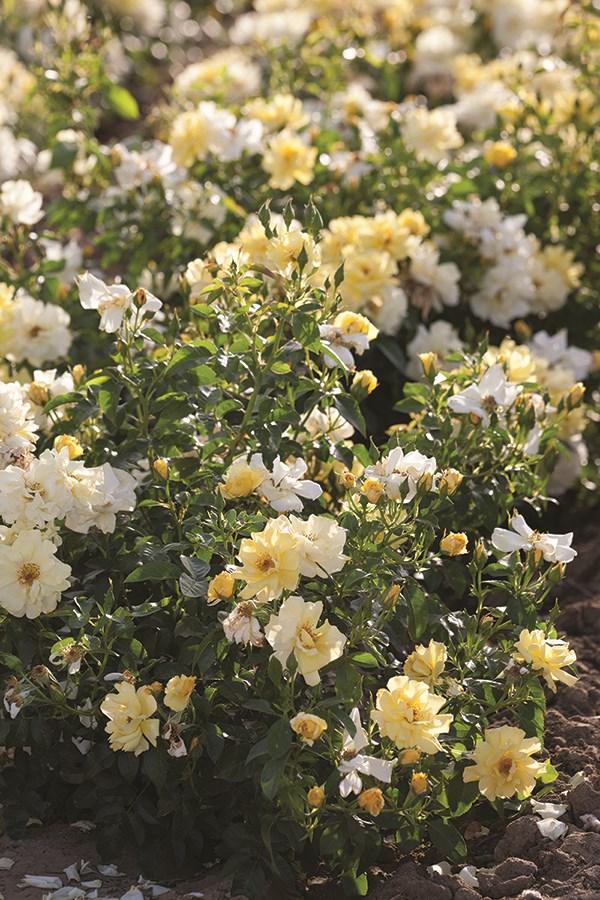 /Images/johnsonnursery/product-images/Lemon Drift-landscape-website_e090e5tw2.jpg