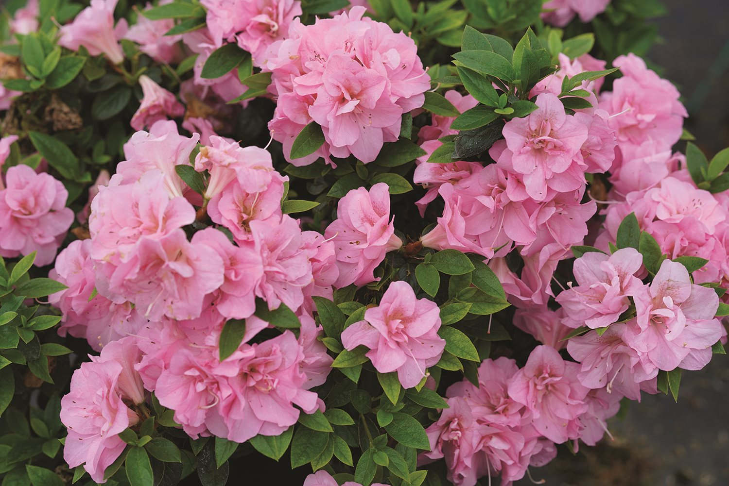 /Images/johnsonnursery/product-images/rhododendron_perfecto_mundo_double_pink_1_website_l4o1ka959.jpg