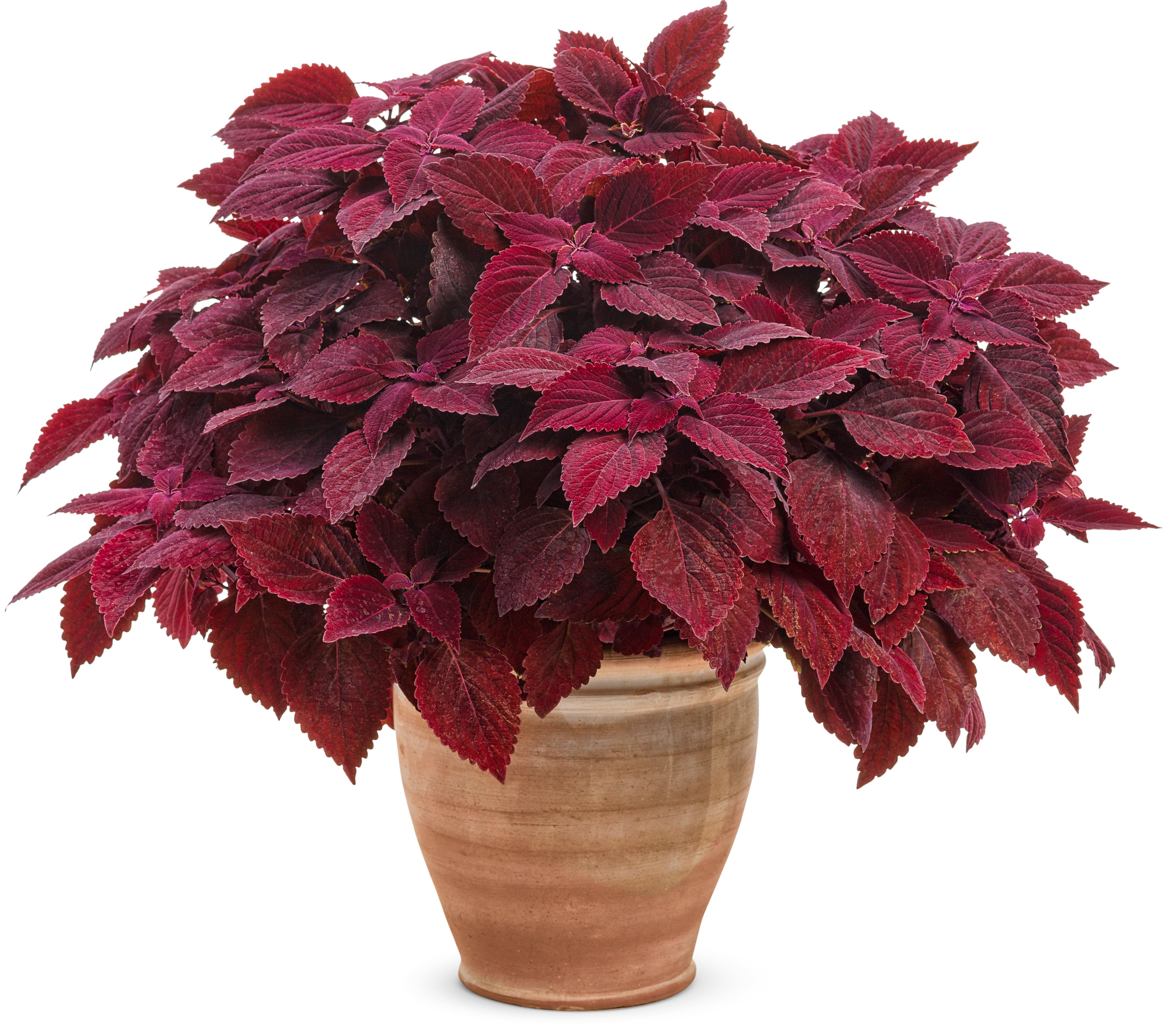 /Images/johnsonnursery/product-images/solenostemon_colorblaze_rediculous_mono_ld4glogd4.jpg
