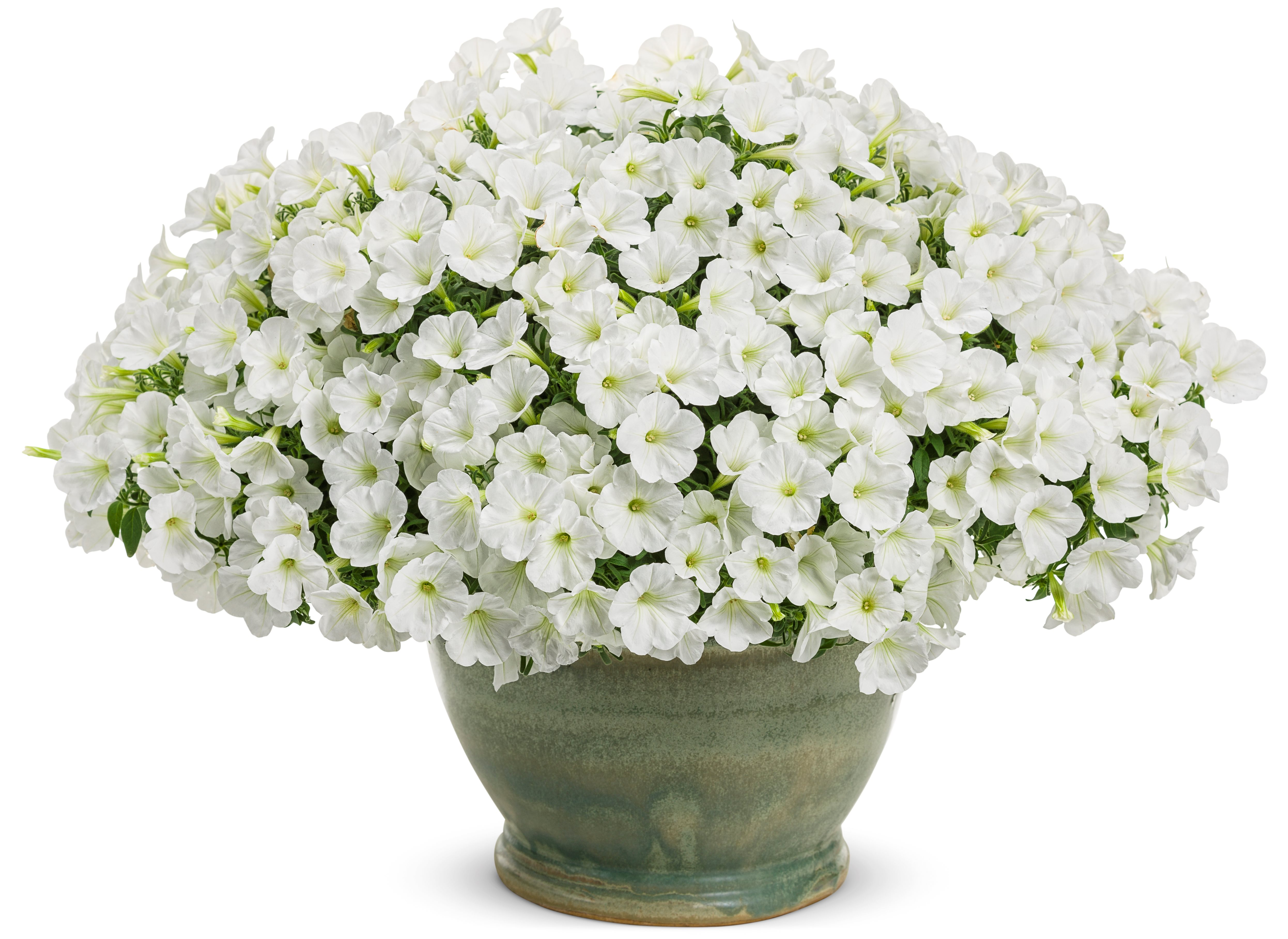 /Images/johnsonnursery/product-images/supertunia_white_charm_mono_17rgblls5.jpg
