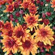 /Images/johnsonnursery/product-images/Chrysanthemum Conaco Orange093013_wpt5tvu58.jpg