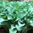 /Images/johnsonnursery/product-images/Hosta Halcyon050201_1u5t2s2vu.jpg