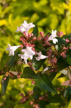 /Images/johnsonnursery/product-images/Abelia Ruby Anniversary 3_gdikwtsfx.jpg