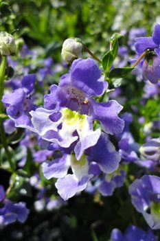 /Images/johnsonnursery/product-images/Angelonia AngelFace Wedgewood Blue3071513_0s1c7ibg3.jpg