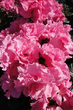 /Images/johnsonnursery/product-images/Azalea Bloom A Thon Pink Double091813_ohqtbbtqh.jpg