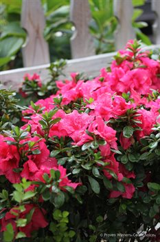 /Images/johnsonnursery/product-images/Azalea Bloom a Thon Hot Pink_sebjtnbuf.jpg