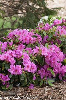/Images/johnsonnursery/product-images/Azalea Bloom a Thon Lavender_ko2spd6pz.jpg
