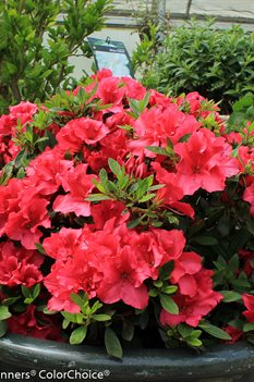 /Images/johnsonnursery/product-images/Azalea Bloom a Thon Red 2_06ndnjpzw.jpg