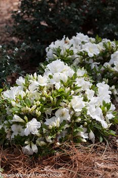 /Images/johnsonnursery/product-images/Azalea Bloom a Thon White_gk0ha5e98.jpg
