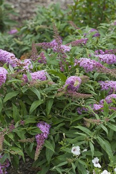/Images/johnsonnursery/product-images/Buddleia Pugster Pink 3_70vgzpoiw.jpg