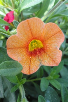 /Images/johnsonnursery/product-images/Calibrachoa Dreamsicle040113_jfl2gfzrz.jpg