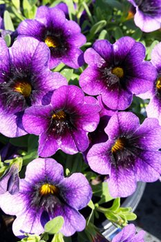 /Images/johnsonnursery/product-images/Calibrachoa Superbells Grape Punch2041117_nvck8chl0.jpg