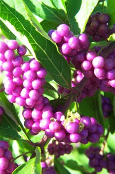 /Images/johnsonnursery/product-images/Callicarpa berries2101207_hrd2n6z7i.jpg