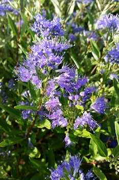 /Images/johnsonnursery/product-images/Caryopteris Sapphire Surf091416_u4a05j1s0.jpg