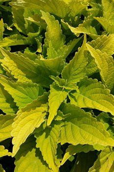 /Images/johnsonnursery/product-images/Coleus Lime Time3061416_ri9axp56f.jpg
