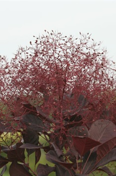 /Images/johnsonnursery/product-images/Cotinus Winecraft Black 2_47w9zjpdx.jpg
