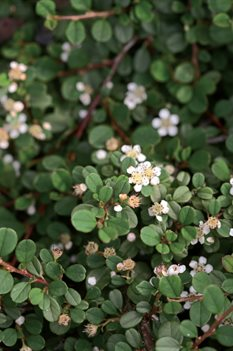 /Images/johnsonnursery/product-images/Cotoneaster Little Dipper 2_tphh4i80a.jpg