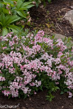 /Images/johnsonnursery/product-images/Deutzia Yuki Cherry Blossom 2_hciz2bvzq.jpg