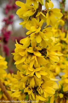/Images/johnsonnursery/product-images/Forsythia Show Off Starlet 2_vovqz1rt1.jpg