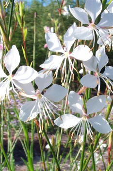 /Images/johnsonnursery/product-images/Gaura Whirling Butterflies3062700_d0nwm1z8m.jpg