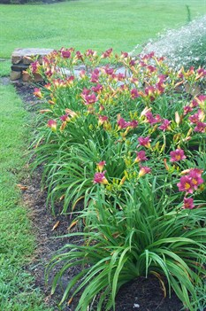 /Images/johnsonnursery/product-images/Hemerocallis Purple De Ora061401_7tt4ot6df.jpg