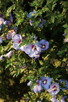 /Images/johnsonnursery/product-images/Hibiscus Azzurri Blue Satin 3_gpn92e66r.jpg