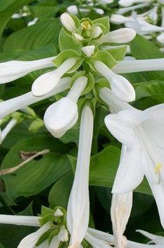 /Images/johnsonnursery/product-images/Hosta_plantaginea090605_64xoifote.jpg