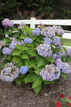 /Images/johnsonnursery/product-images/Hydrangea Endless Summer070313_rh7r0a7at.jpg
