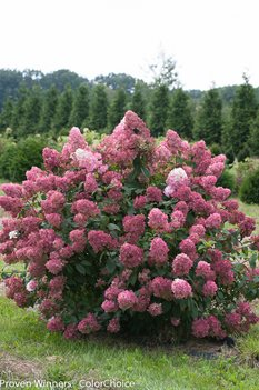 /Images/johnsonnursery/product-images/Hydrangea Fire Light_mo8cm25of.jpg