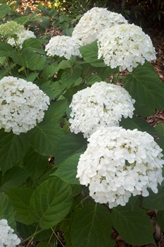 /Images/johnsonnursery/product-images/Hydrangea Incrediball060211_fmzwkjrs4.jpg