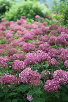 /Images/johnsonnursery/product-images/Hydrangea Invincibelle Mini Mauvette_7n86g4940.jpg