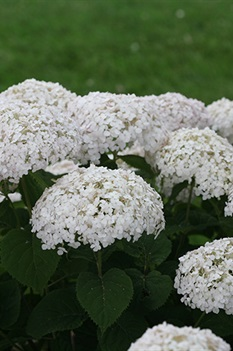 /Images/johnsonnursery/product-images/Hydrangea Invincibelle Wee White 2_bhtsbab6d.jpg