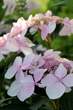 /Images/johnsonnursery/product-images/Hydrangea Lets Dance Diva_rnu2rkiix.jpg