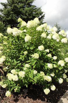 /Images/johnsonnursery/product-images/Hydrangea Limelight071413_7aohto5zv.jpg