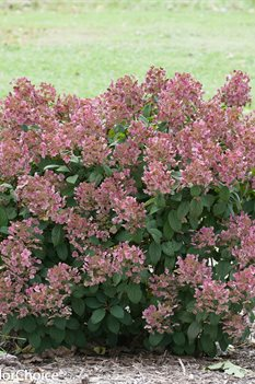 /Images/johnsonnursery/product-images/Hydrangea Little Quick Fire_v481z5h9n.jpg