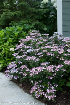 /Images/johnsonnursery/product-images/Hydrangea Tiny Tuff Stuff 2_ufi7wdtfc.jpg