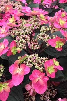 /Images/johnsonnursery/product-images/Hydrangea Tuff Stuff Red 2_dxcki8dza.jpg