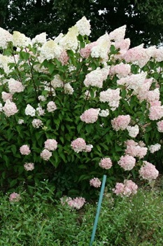 /Images/johnsonnursery/product-images/Hydrangea Vanilla Strawberry - 1st editions_wj5r8ez5j.jpg