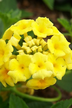 /Images/johnsonnursery/product-images/Lantana Chapel Hill Yellow032509_7tu2a79g2.jpg