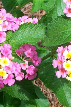 /Images/johnsonnursery/product-images/Lantana Ham and Eggs071008_7zk3clde0.jpg
