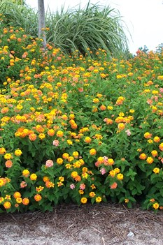 /Images/johnsonnursery/product-images/Lantana Miss Huff061900_00jhg9im2.jpg