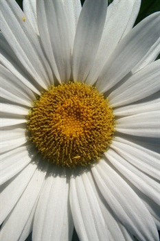 /Images/johnsonnursery/product-images/Leucanthemum Becky2051507_8radsfgvx.jpg