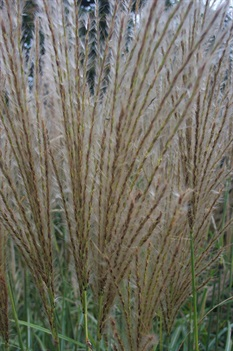 /Images/johnsonnursery/product-images/Miscanthus Adagio plumes080700_5ak412amh.jpg