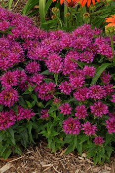 /Images/johnsonnursery/product-images/Monarda Pardon My Purple_fvzf2hxbj.jpg