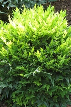 /Images/johnsonnursery/product-images/Nandina Lemon Lime_za5jttg1j.jpeg