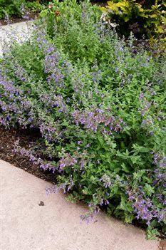 /Images/johnsonnursery/product-images/Nepeta Junior Walker042916_q11aql7b8.jpg