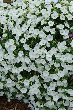 /Images/johnsonnursery/product-images/Petunia Supertunia White MI13_coii7o92f.jpg