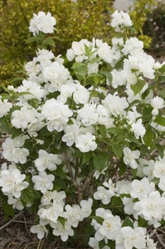 /Images/johnsonnursery/product-images/Philadelphus Snow White_7clboc1qb.jpg